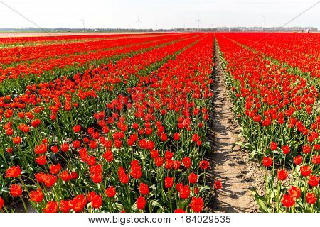 Large view on the field of tulips