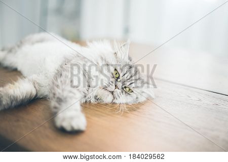Cute Persian Cat Or Chinchilla Cat Lying On The Wooden.