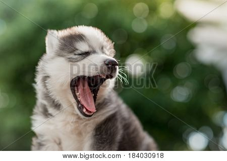 siberian husky puppy yawning with bokeh abstract background