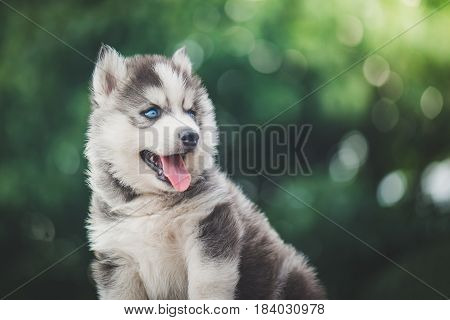 Blue eyes siberian husky puppy with bokeh abstract backgroundvintage filter