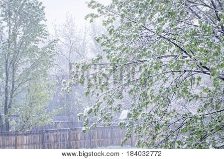 springtime snowstorm - backyard scene in northern Colorado with a maple tree