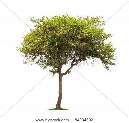 Isolated tree with green leaf on white background