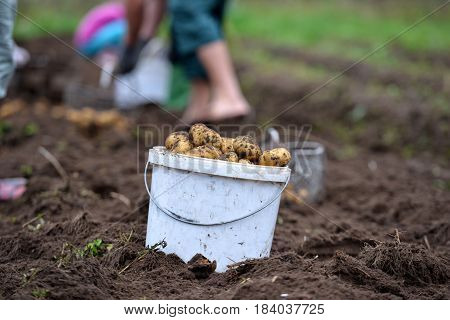 Potato harvest talc. White bucket of potatoes.