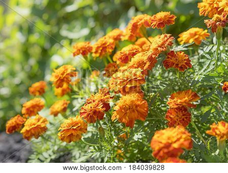 Nutritious edible flowers golden marigolds growing in the garden in autumn