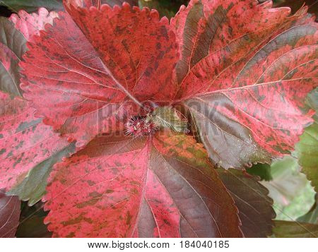 Closed up unique Pattern of Red with Brown Accent Tropical Plant Leaves in Thailand