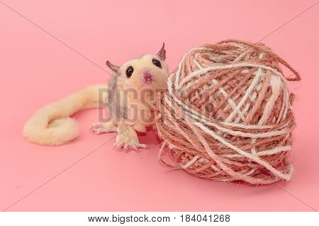 Cute Male Sugar Glider Leucistic . Petaurus Breviceps, On Pink Background