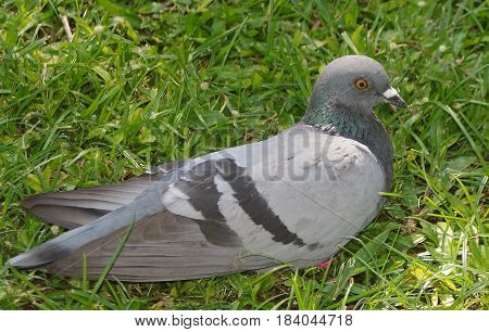Side view of a single grey pigeon nestled in the green grass.