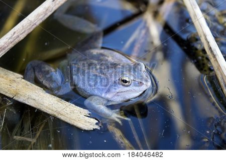 Blue colored moor frog with caviar in the wild
