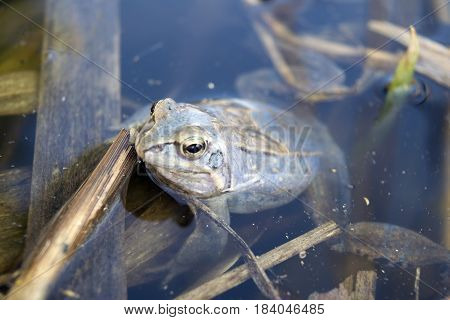 Male of moor frog in spawning blue color in swap