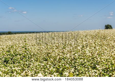 Beautiful view of a large field of blooming buckwheat and trees on the horizon on a background of blue sky and clouds