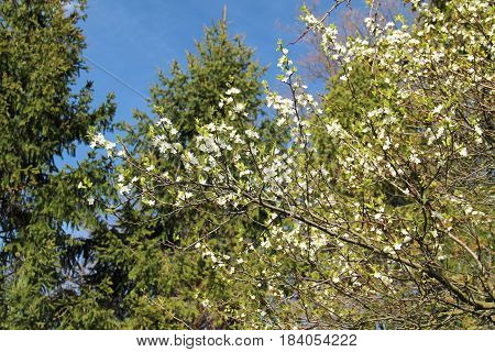 blooming twigs of plum trees and green spruces behind them on sunny spring day
