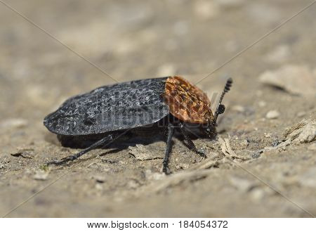 Red Breasted Carrion Beetle - Oiceoptoma thoracicum