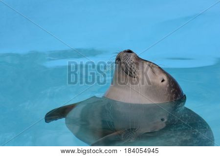 Satisfied cheerful seal with closed eyes taking a nap floating in clear turquoise sea water