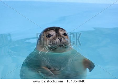 Curious seal looking straith floating in clear turquoise sea water