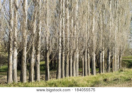Sequential poplar trees, poplar shell patterns, background pictures poster
