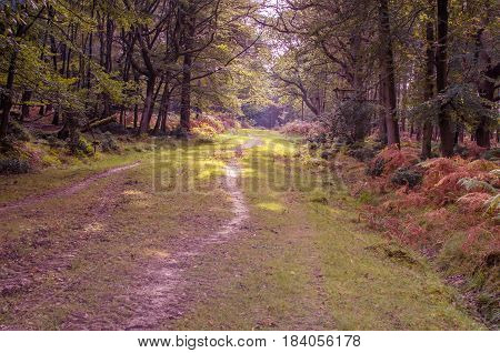 Path in the forest late in autumn, Hampshire, New Forest