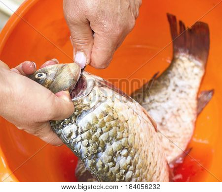 Raw Fish, Cleaning, Woman Hands Cut Up The Fish
