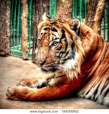 Big striped tiger lounging after a good lunch useful as background or abstract