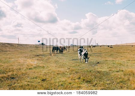A Herd Of Yaks And Cow In The Grassland, Inner Mongolia,china
