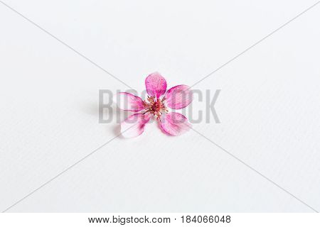 close up of light and soft sacura flowers on white background. Concept of love. feeling of spring. empty spase for the text.