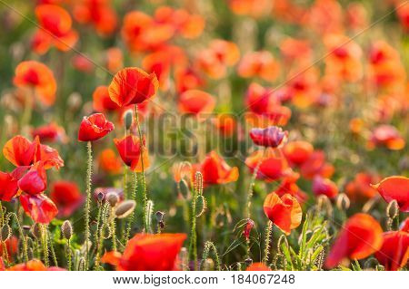 Poppy farming, nature, agriculture concept - industrial farming of poppy flowers - close-up on flowers and stems of the red poppies field. Sunny red flowers background.