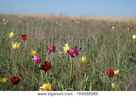 Wild Tulips Schrenk Also Tulipa Gesneriana Or Didier's Tulip Or Garden Tulip In Spring Desert