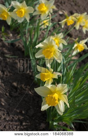 Bright Yellow Narcissuses Against Dry Soil In Flowerbed