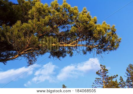 Fluffy pine tree branch on the blue sky backgound. Green pine branch at the blue sky.