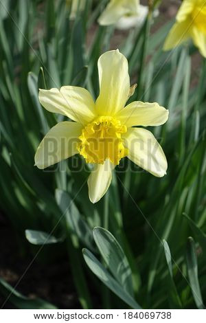 Close Up Of Single Yellow Narcissus With Luxuriant Green Leaves