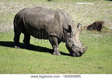 Rhinoceros at wildlife reserve Jacksonville, Florida., USA