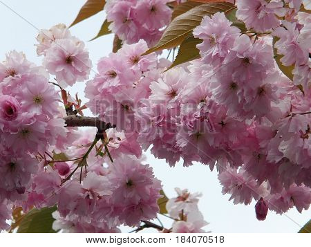soft pink spring cherry blossom in close up with green leaves