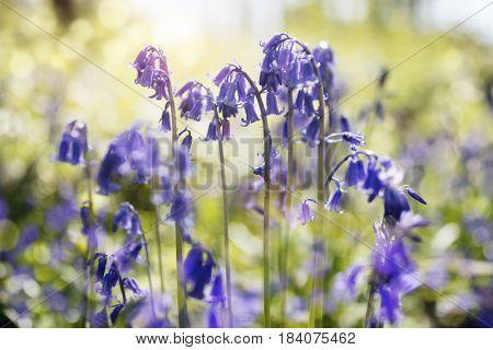 Bluebells hyacinthoides non-scripta spring nature background