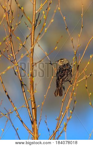 Female Red-winged blackbird (Agelaius phoeniceus) perching in a branch in springtime