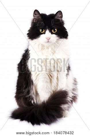 Black Cat sitting and looking at the camera, isolated on white background