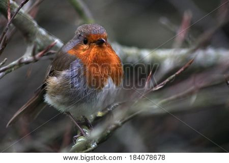 A Red-breasted robin on a tree branch