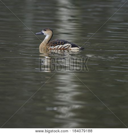 Portrait Of Wandering Whistling Duck Dendrocyga Arcuata In Natural Habitat In Spring