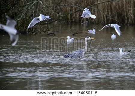 Beautiful Preying Grey Heron Ardea Cinerea Wading Looking For Fish In Spring