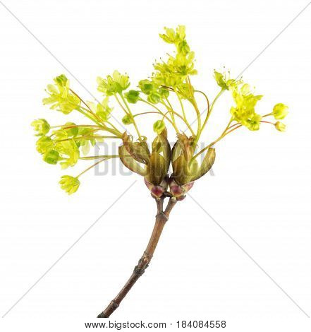 Flowers of Norway maple (Acer platanoides) isolated on white background
