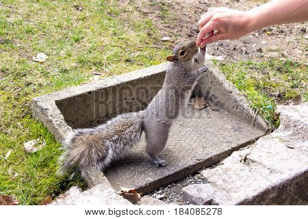 grey squirrel outdoor in town eating in human hand