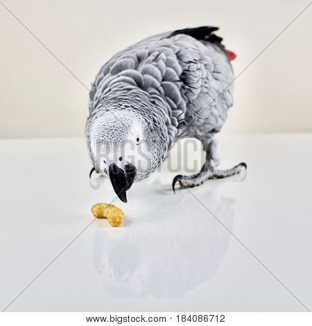 African grey parrot smell small peanut crisp