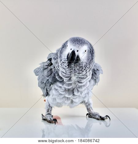 Wild african grey parrot dancing on the table