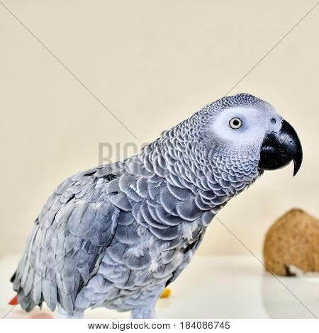 African grey parrot near half brown coconut