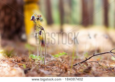 Pasque flowers with snail in forest on early morning