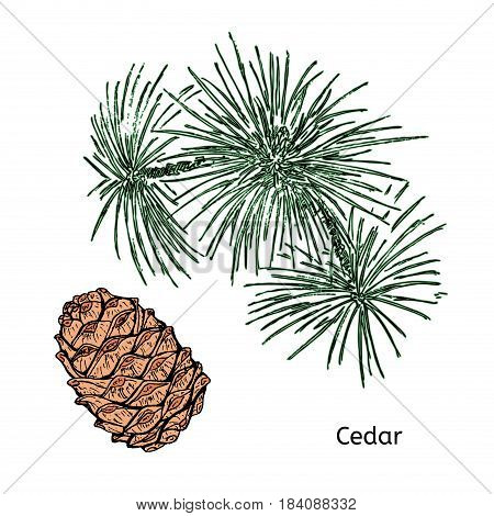 Natural drawing cedar concept with green twig and brown cone on white background isolated vector illustration