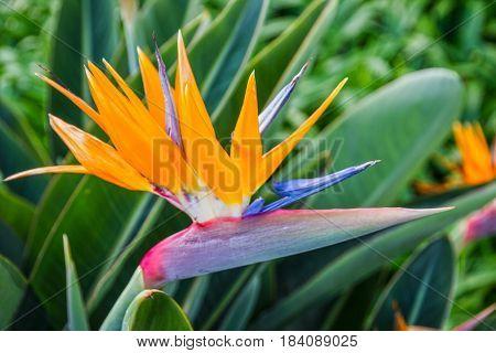 tropical flower African strelitzia bird of paradise Madeira island, Portugal