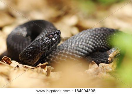 beautiful black nikolsky viper preparing to bite ( Vipera berus nikolskii )
