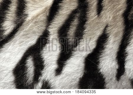 black and white real pattern of tiger pelt ready for your design