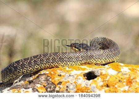 blotched snake preparing to strike while basking on a rock ( Elaphe sauromates ) poster