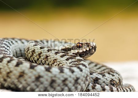 close up of male common crossed viper a widespread dangerous european snake ( Vipera berus )