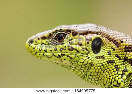 detailed portrait of sand lizard macro shot of a male head ( Lacerta agilis )